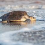 Sea Turtles in Banderas Bay (2021)